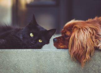 gatto contagiato