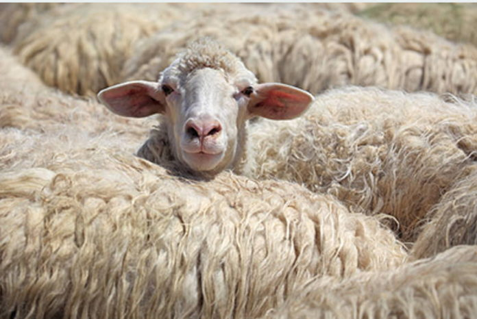 Settanta pecore rubate