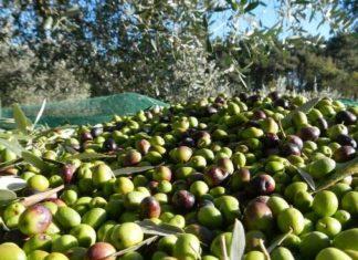bando olive